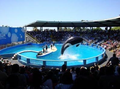 captive-orca