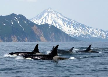 wild_killer_whales_alaska